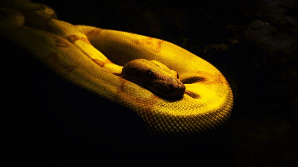 Snakes in Dream